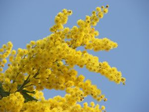 Mimosa yellow flowers, often used as a symbol of International Women's Day.